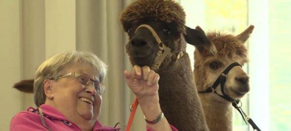 """""""羊驼疗法""""收效佳:德国看护中心引进羊驼陪伴老人"""